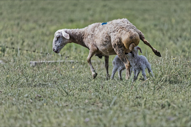 mammal-grass-animal-field-sheep picture material