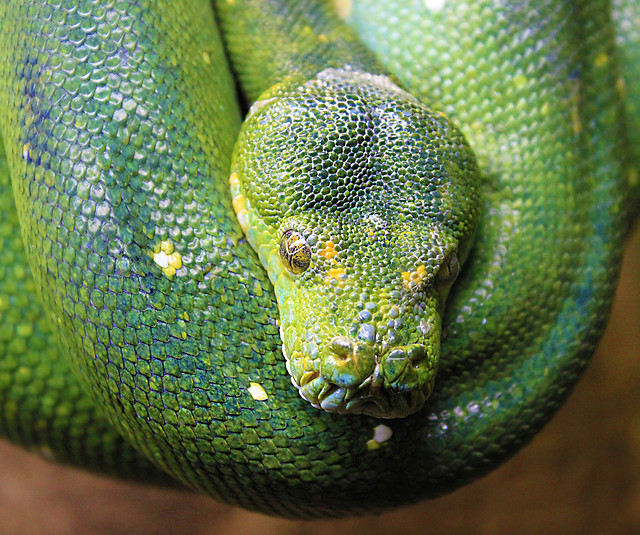 reptile-snake-exotic-wildlife-feather-boa picture material