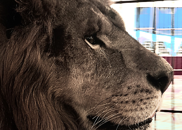 mammal-animal-zoo-wildlife-lion picture material