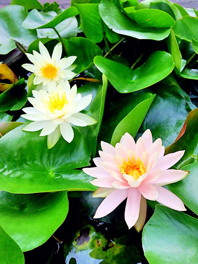 leaf-flora-flower-nature-lily picture material