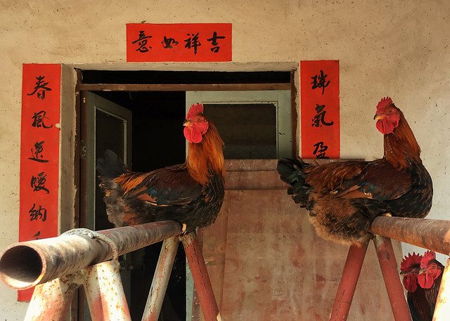 chicken-bird-indoors-no-person-poultry 图片素材