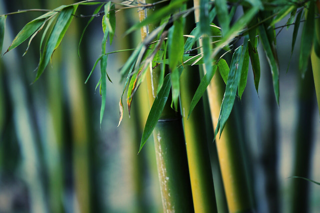 flora-bamboo-leaf-growth-nature picture material