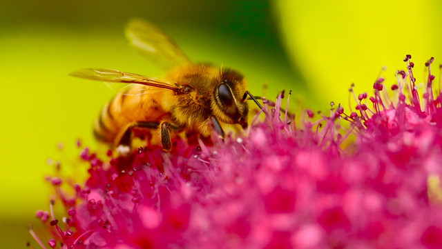 nature-bee-flower-pollen-insect picture material