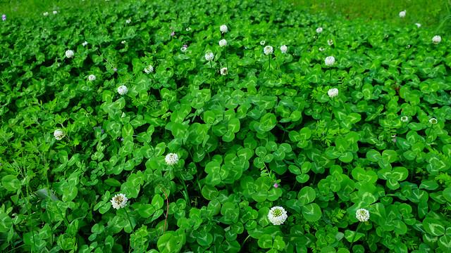 flora-leaf-garden-environment-clover picture material