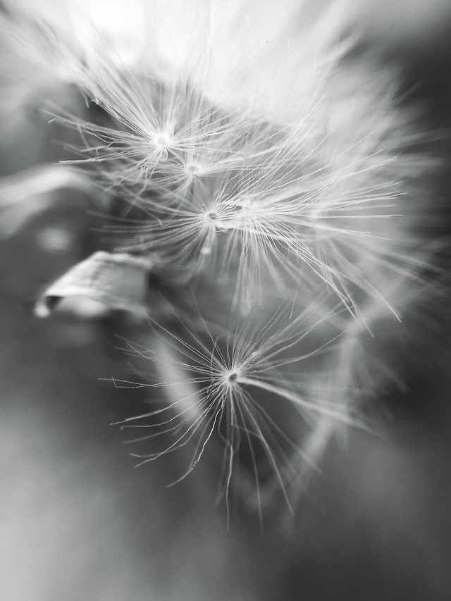 dandelion-nature-monochrome-downy-no-person picture material