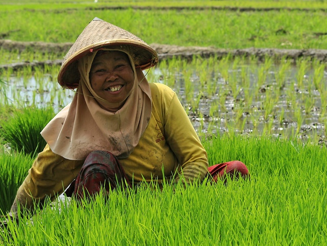 rice-paddy-field-grass-farm picture material