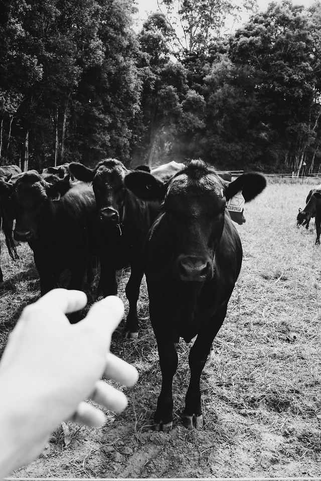 cattle-mammal-people-cow-agriculture picture material