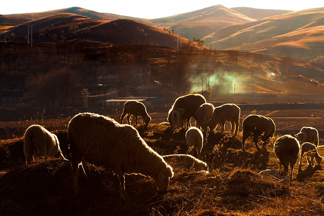 sheep-herd-mountain-hill-landscape picture material