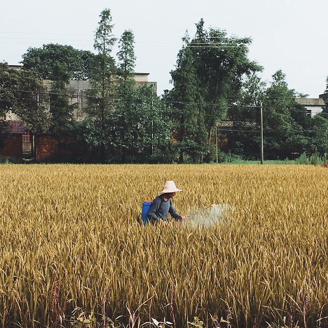 agriculture-cereal-farm-crop-pasture picture material
