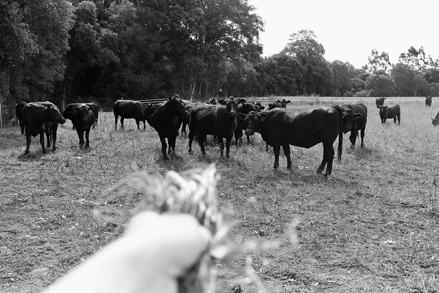 agriculture-cattle-cow-mammal-livestock picture material