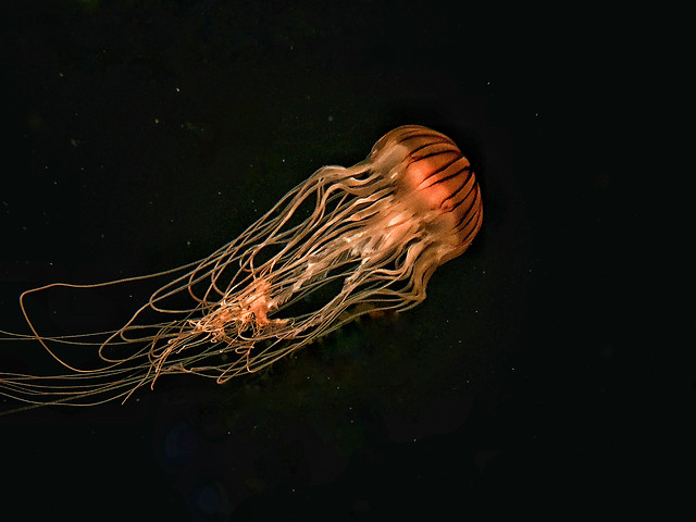 jellyfish-flame-energy-no-person-science picture material