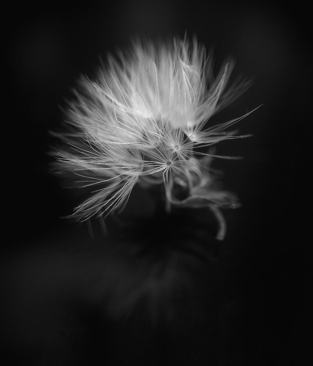 dandelion-monochrome-flame-fireworks-flash picture material