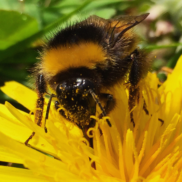 bee-insect-honey-pollen-bumblebee picture material