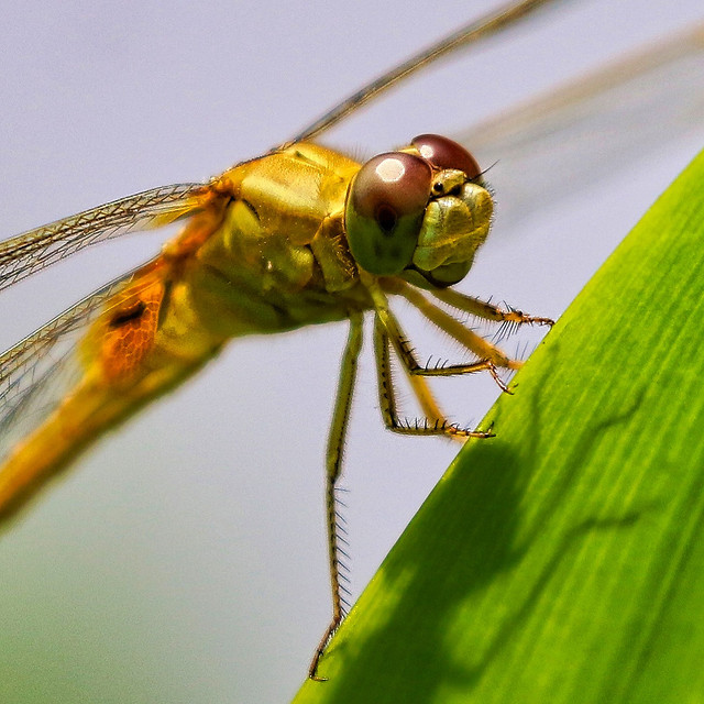 dragonfly-insect-animal-fly-damselfly picture material
