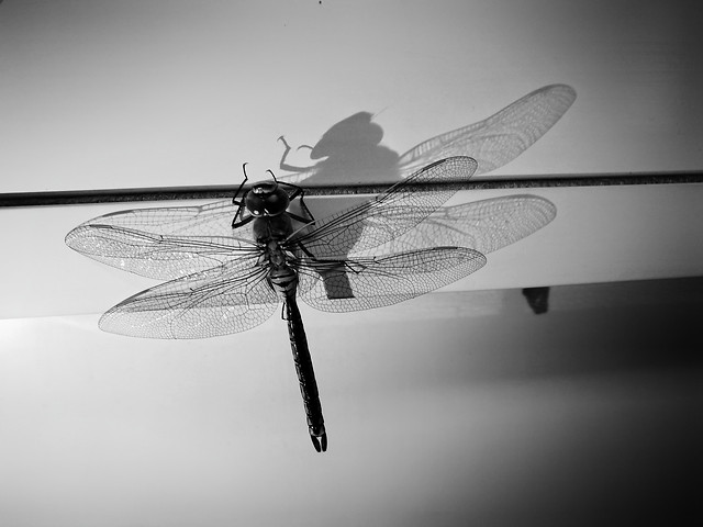 dragonfly-insect-monochrome-wing-fly picture material