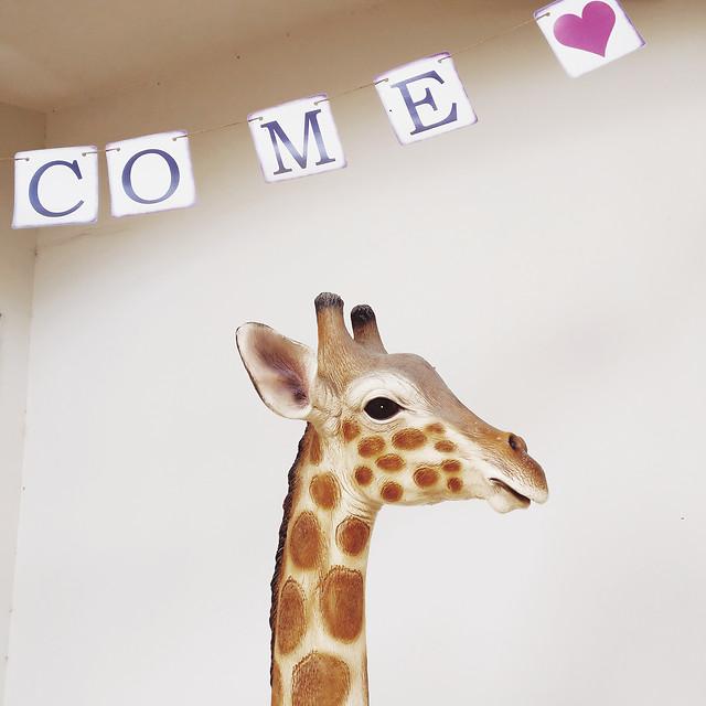 giraffe-wildlife-animal-giraffidae-nature picture material