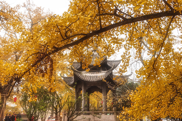 fall-tree-leaf-park-gold 图片素材