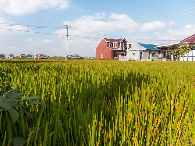 agriculture-farm-rice-cereal-paddy picture material