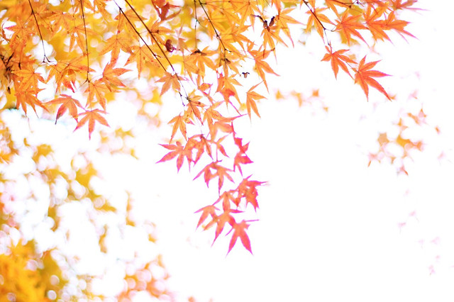 desktop-fall-maple-leaf-season picture material