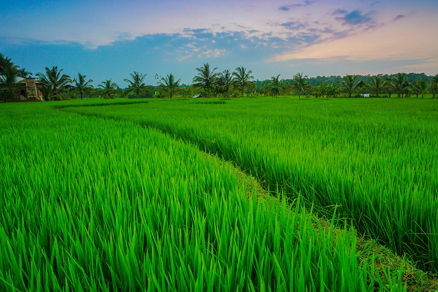 rice-field-agriculture-grass-farm picture material
