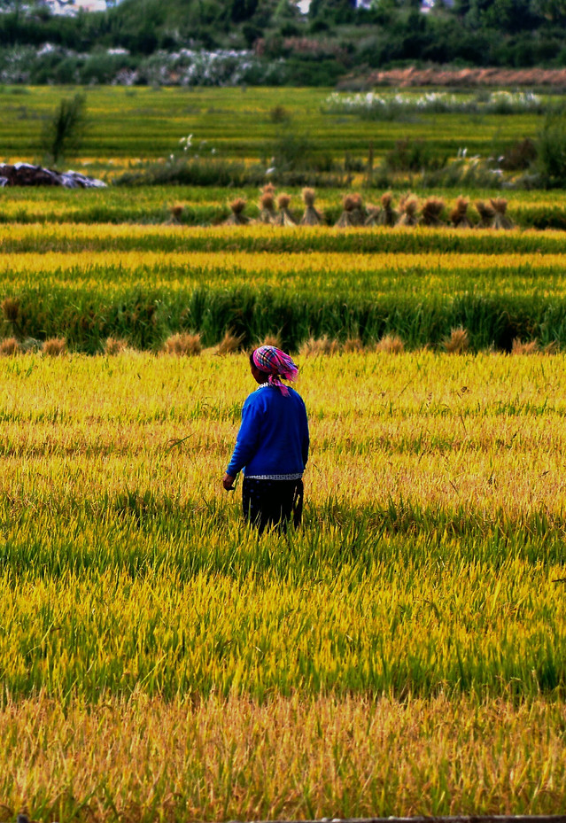 landscape-field-rice-agriculture-farm picture material