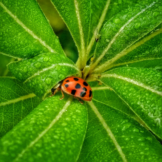 ladybug-insect-beetle-biology-nature picture material