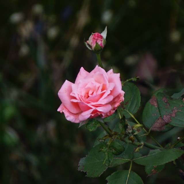 flower-rose-nature-flora-petal picture material
