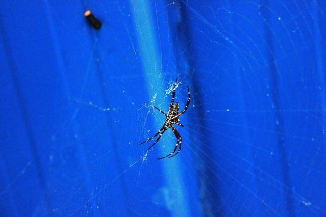 spider-arachnid-invertebrate-insect-no-person picture material