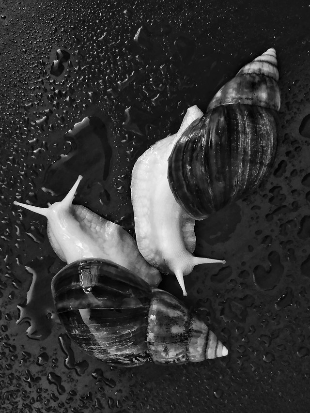 shellfish-snail-shell-gastropod-invertebrate picture material