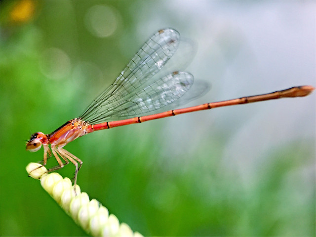 nature-dragonfly-insect-damselfly-grass picture material