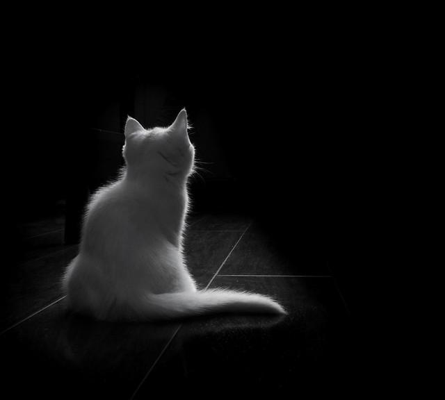 cat-kitten-monochrome-portrait-studio picture material