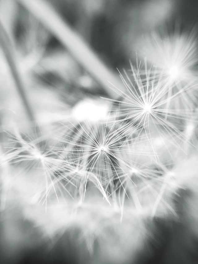 dandelion-bright-blur-abstract-flash picture material