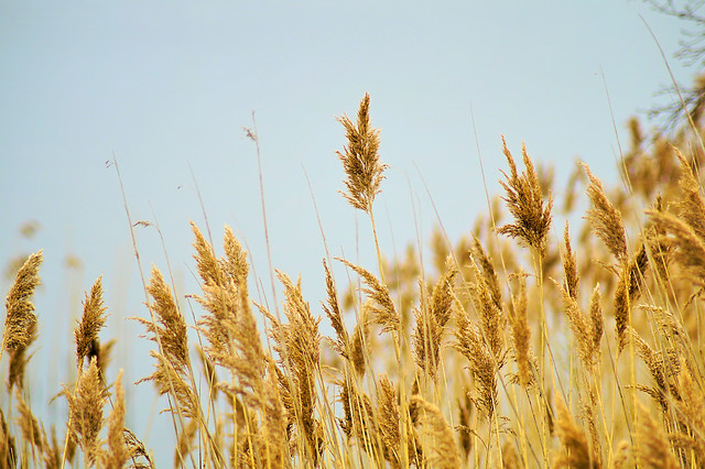 wheat-cereal-bread-rye-rural picture material