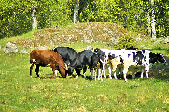 cow-cattle-mammal-livestock-agriculture picture material