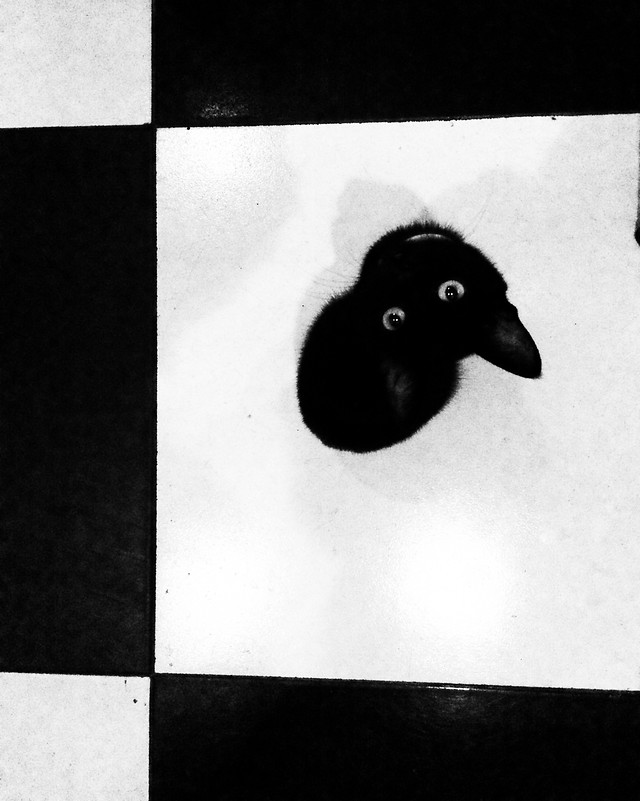 animal-dog-cat-photograph-black picture material