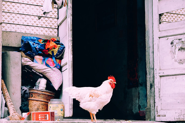 people-chicken-pink-no-person-one 图片素材