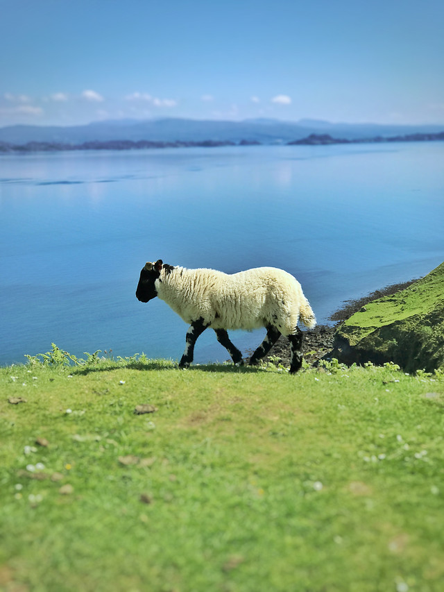 sheep-no-person-water-outdoors-grass picture material