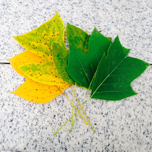 leaf-fall-no-person-nature-maple picture material