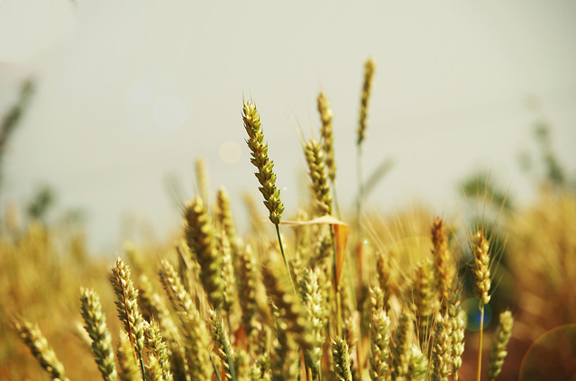 wheat-cereal-bread-pasture-corn picture material
