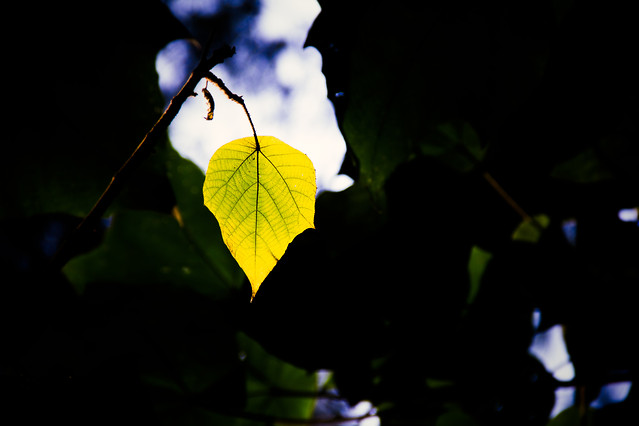 leaf-light-nature-flora-backlit picture material