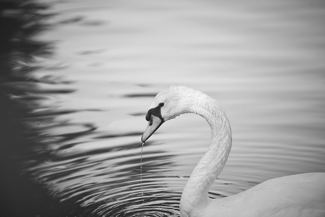 bird-lake-swan-water-reflection picture material