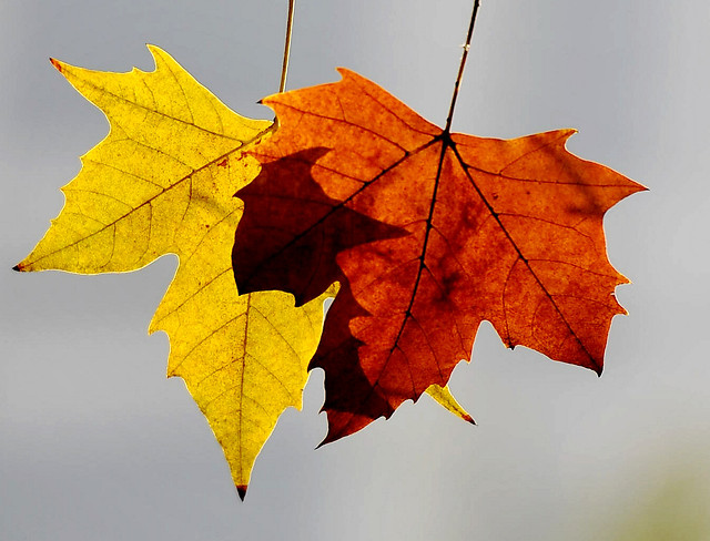 fall-leaf-maple-season-nature 图片素材