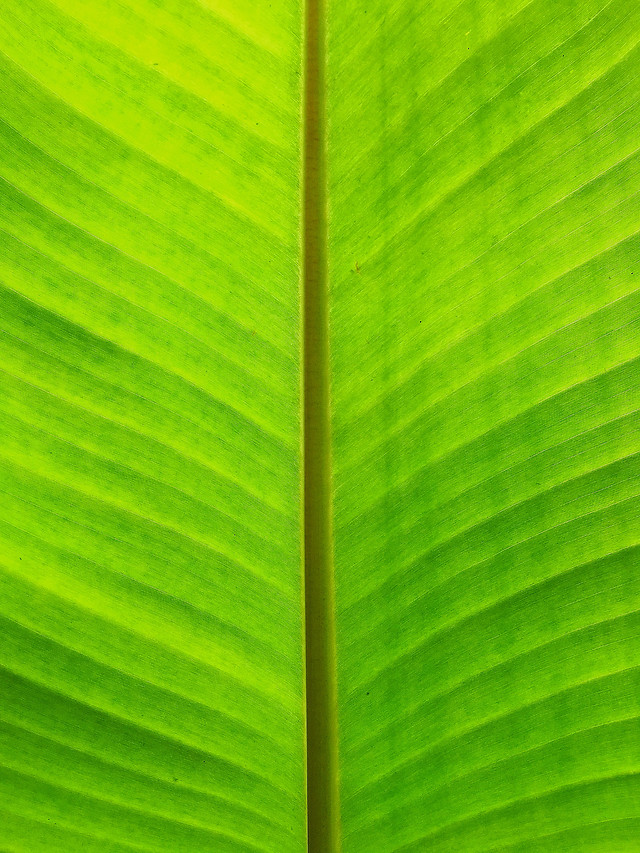 leaf-flora-vein-growth-photosynthesis picture material