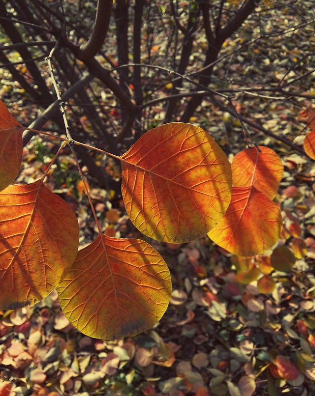 leaf-fall-maple-tree-nature picture material