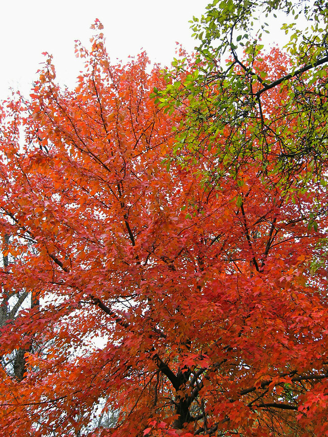 fall-leaf-tree-nature-season picture material