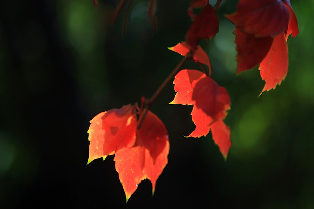 no-person-leaf-nature-red-blur picture material