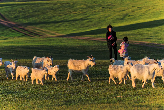 mammal-sheep-livestock-farm-agriculture picture material