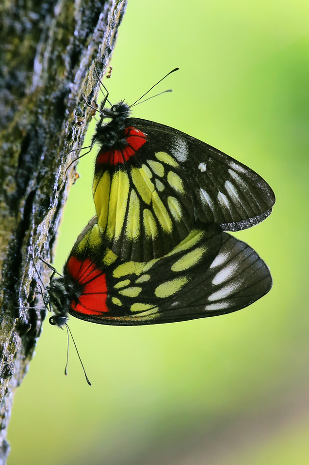 butterfly-insect-nature-wing-wildlife picture material