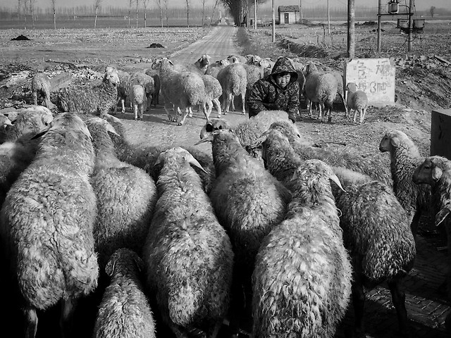 livestock-sheep-people-no-person-group picture material