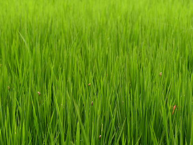 grass-growth-field-lush-paddy picture material